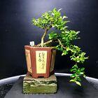 Bonsai Tree Kingsville Boxwood Mame Cascade 55 Base Top Chinese Zisha Chop Pot