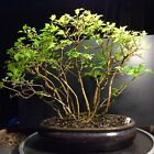 Bonsai Tree Forest Musk Maple Premna Microphyllia Japonica 9 Years From Cuttings