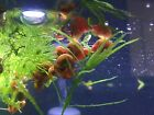 LIVE Red Pink and Brown RAMSHORN SNAIlS + EXTRAS