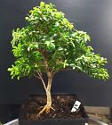 Bonsai Tree Kingsville Boxwood Pre Bonsai Pre Styled 12 Years Old Ready To Pot