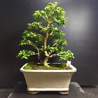 Bonsai Tree Kingsville Boxwood 10 Years Old 10 1 4 From Base To The trees Top