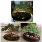 Bonsai Juniper Tree Growing Ornaments Indoor Plants for Home Office Decoration