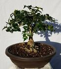Chinese Holly Bonsai Tree