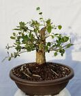 Shohin Cork Oak Bonsai Tree