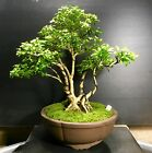 Bonsai Tree Kingsville Boxwood Shohin 12 Years Unglazed Quality Chinese Pot