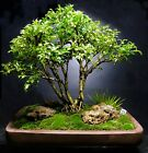Bonsai Tree Kingsville Boxwood Saikei Forest 12 Years105 Beautiful Roots