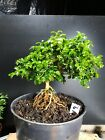 Bonsai Tree Kingsville Boxwood Pre Bonsai 12 Years Old Ready To Pot As Bonsai