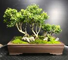 Bonsai Tree Kingsville Boxwood Saikei Forest 1 12 Years Ventage Japanese pot