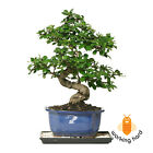 FUKIEN TEA BONSAI TREE Curved Trunk Small Indoor Garden Plant Flower Decoration