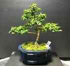 Bonsai Tree Kingsville Boxwood 10 Years Old 8 1 2 From Base To The trees Top