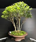 Bonsai Tree Kingsville Boxwood Forest Purple Clay Yxing Zisha Pot Chop Marks
