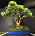 Bonsai Tree Kingsville Boxwood 30 Years From Cutting Japanese Pot with Mark