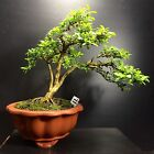 Bonsai Tree Kingsville Boxwood 11 Years 9 Tall Yixing Master Line Pot Shohin