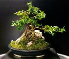 Bonsai Kingsville Boxwoodsekijoju 10 Years Jim Barrett Pot Signed