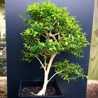 Bonsai Tree Kingsville Boxwood Pre Bonsai 15 Years Old Ready To Pot As Bonsai