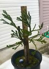 Giant Sequoia Redwood Pre Bonsai Tree truncated fat rough trunk + free redwood