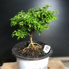 Bonsai Tree Kingsville Boxwood Pre Bonsai 8 Years Old Ready To Pot As Bonsai