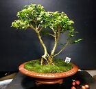 Bonsai Tree Kingsville Boxwood Mame 9 Years 75 Tall Yixing Master Class Pot