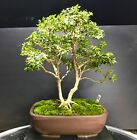 Bonsai Tree Kingsville Boxwood 18 Years old From a Cutting 125 Japanese Pot