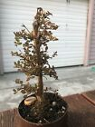 Tiny Leaf Cotoneaster Pre Bonsai Fat Nebari Rough Trunk Collected From My Forest