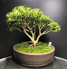 Bonsai Tree Kingsville Boxwood 20 Years Old 8 3 4 Tall Japanese Pot with Chop