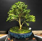 Bonsai Tree Kingsville Boxwood 16 Years Old 10 Tall Japanese pot with chop