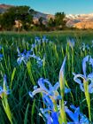 Wild Blue Iris, a Sierra Favorite. 100 Seed. Plant now!🔥 CabinFeverTraders