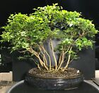 Bonsai Japanese Musk Maple Forest