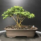 Bonsai Tree Kingsville Boxwood Twin Trees 8 Years Purple Clay Pot With Chop