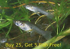 25+ Live Gambusia Mosquito Fish Koi Pond Aquarium Feeder Fish Hardy Guppy