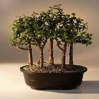 Baby Jade Bonsai Tree Five Tree Forest Group Portulacaria Afra