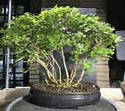 Bonsai Japanese Musk Maple Forest Chinese High Fired Pot 17 1 2 Tall