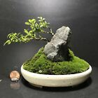 Bonsai Kingsville BoxwoodSaikei Rocky Landscape 3 Years Glazed Japanese Pot