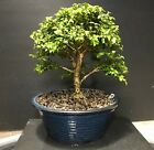 Bonsai Tree Kingsville Boxwood 18 years From Cutting air Layer Japanese Pot