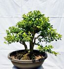 English Boxwood Bonsai Tree
