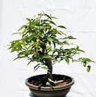 Japanese Hornbeam Bonsai Tree