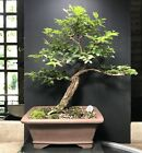Bonsai Tree Chinese Elm 15 Years From Root Cutting 14 Tall Quality Chinese Pot