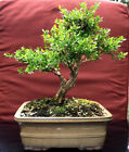 Harland Boxwood Bonsai Tree Awesome Trunk