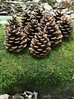 Pine Cones Red Pine 25 count