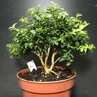 Bonsai Tree Kingsville Boxwood Pre Bonsai 9 Years Old Ready To Pot As Bonsai