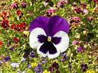 Pansy Mix Swiss Giants Seeds by Zellajake Many Sizes Colorful Rainbow Flower 247