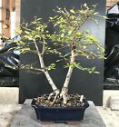 Bonsai Tree Chinese Elm 12 Years From Root Cutting 14 1 2 Quality Chinese Pot