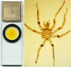 Sea Spider Microscope Slide
