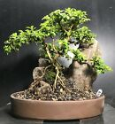 Bonsai Kingsville Boxwood Saikei Mini Rocky Landscape 9 Years From Cutting