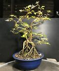 Bonsai Tree Japanese Musk Maple Premna microphylla Root Exposed Japanese Pot