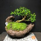 Bonsai Mame Tree Kingsville Boxwood 8 Years Old Kurama Scoop Shape Pot