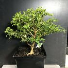 Bonsai Tree Kingsville Boxwood Pre Bonsai 11 Years Old Ready To Pot As Bonsai