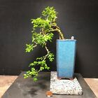 Bonsai Tree Kingsville Boxwood Cascade 9 Years Old Chinese Quality Pot