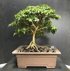 Bonsai Tree Kingsville Boxwood Shohin Size 11 Years 8 Vintage Japanese Pot