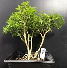 Bonsai Tree Kingsville Boxwood Pre Bonsai 14 Years Old Ready To Pot As Bonsai